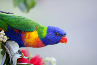Rainbow lorikeet portrait 1