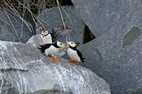 Puffin family 2