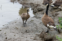 Canada goose and gosling, Anchorage