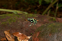 Green and black poison dart frog 2
