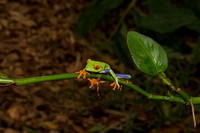 Red eyed tree frog 4
