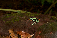 Green and black poison dart frog 1
