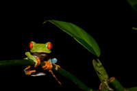 Red eyed tree frog 7