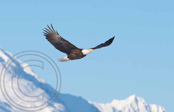 Eagle flying in snowy valley