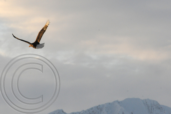 Eagle with misty background