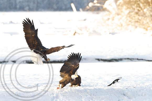 Eagles squabbling over salmon
