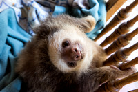 Baby sloth 6