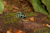 Green and black poison dart frog 3