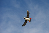 Puffin flying overhead 1