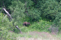 Female moose, Anchorage